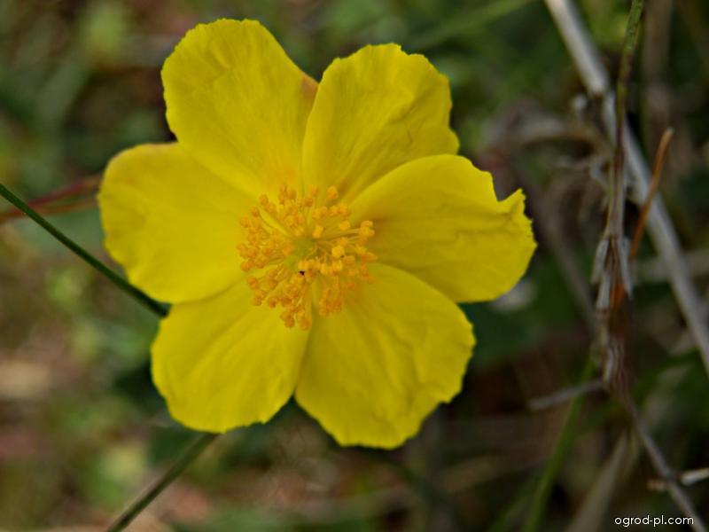 Devaterník velkokvětý (Helianthemum grandiflorum)