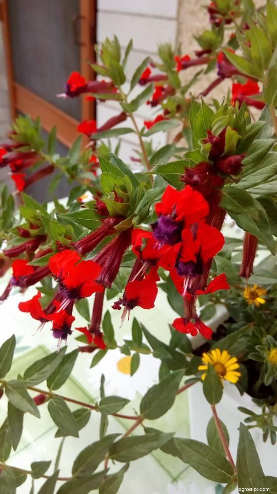 Hlazenec (Cuphea llavea)