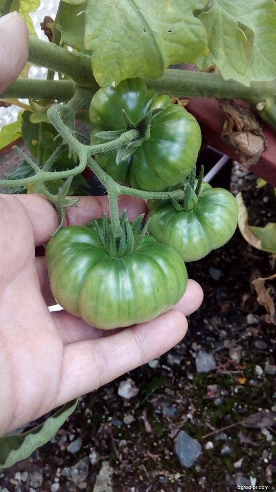 Rajče jedlé Red Star (Solanum lycopersicum)