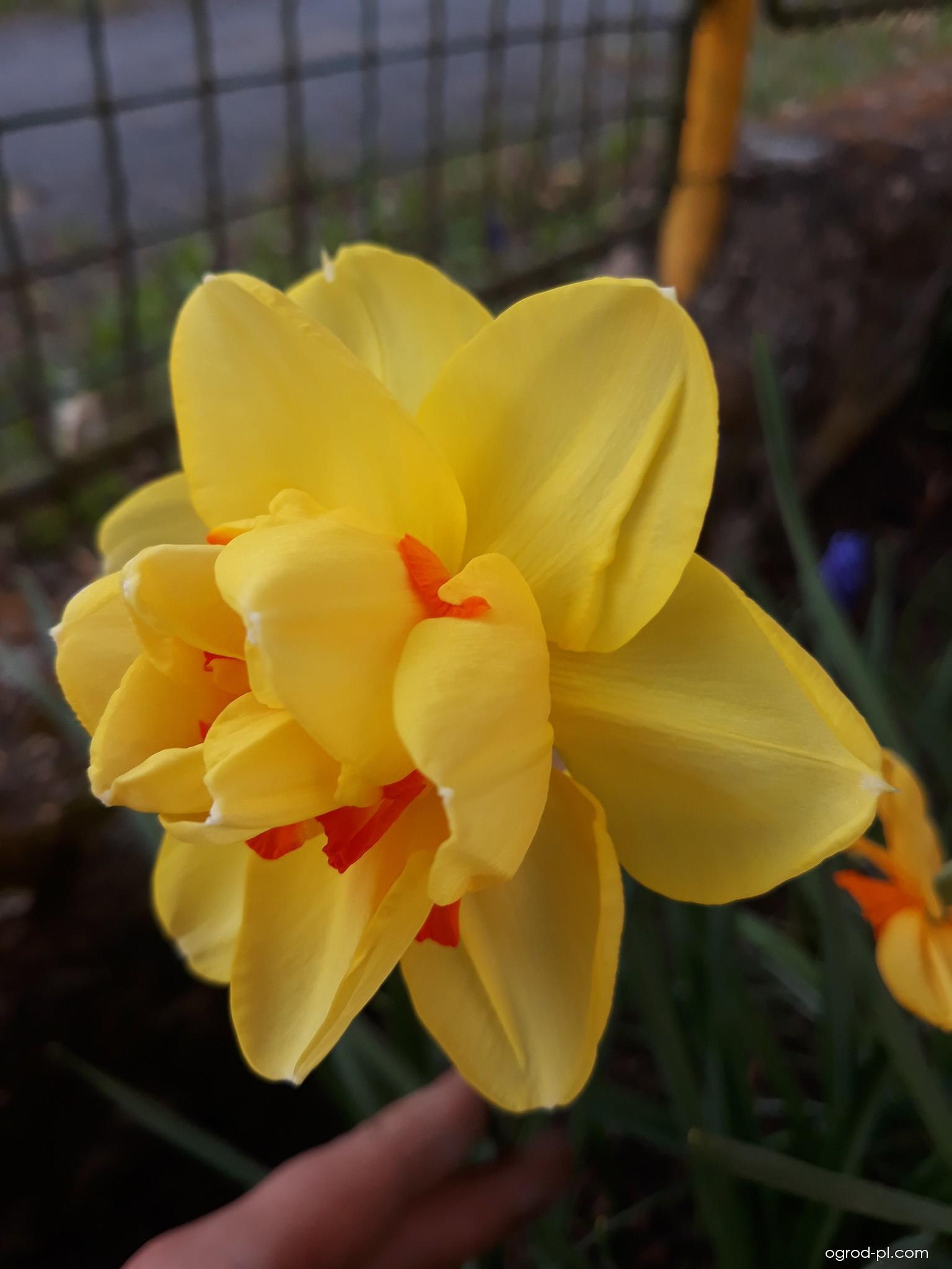 Narcis Tahiti - Plnokvěté narcisy (Narcissus x hybridus)