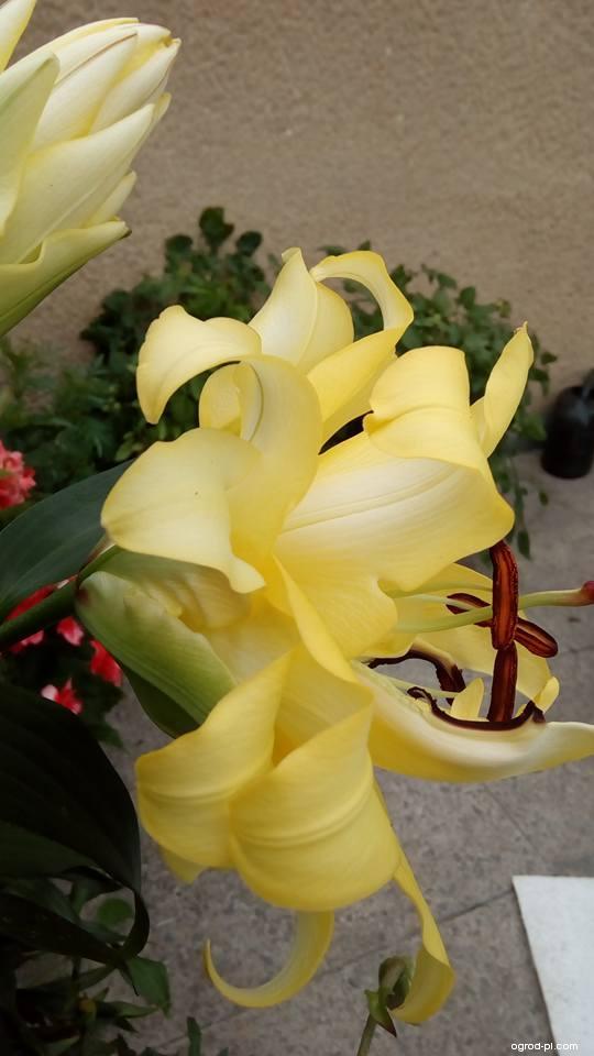 Lilia - Lilium x hybridum Exotic Sun