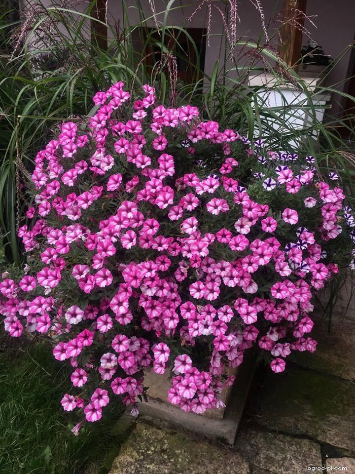 Petunia ogrodowa - Petunia x hybrida