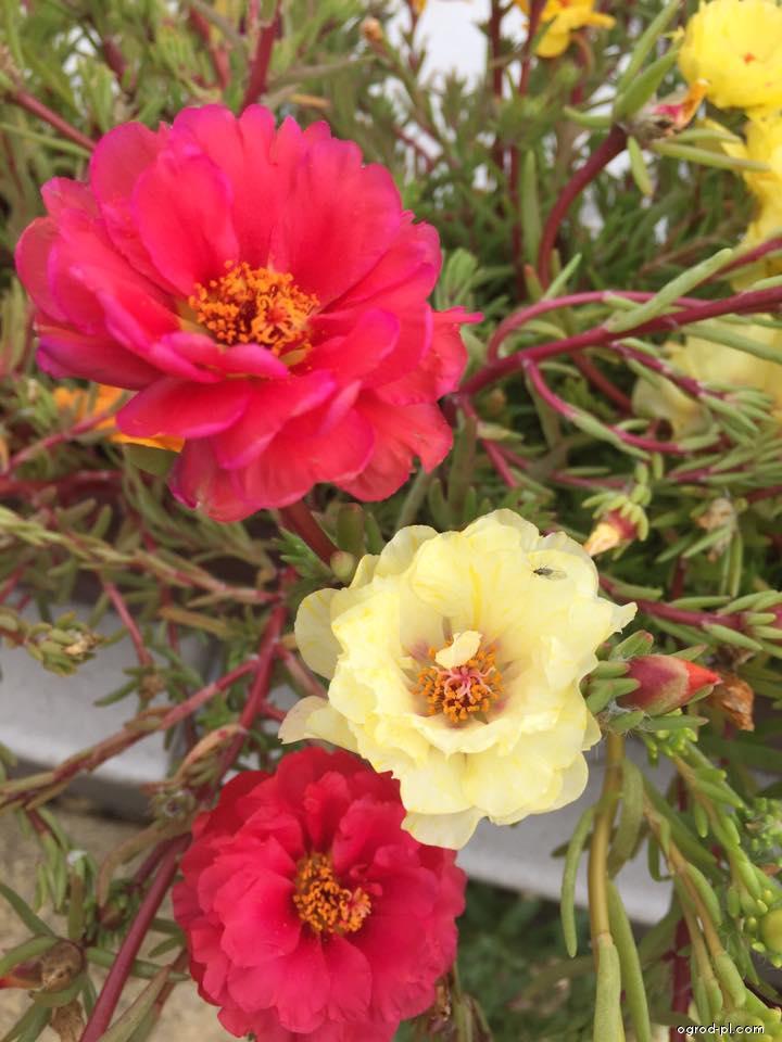 Portulaka wielkokwiatowa - Portulaca grandiflora