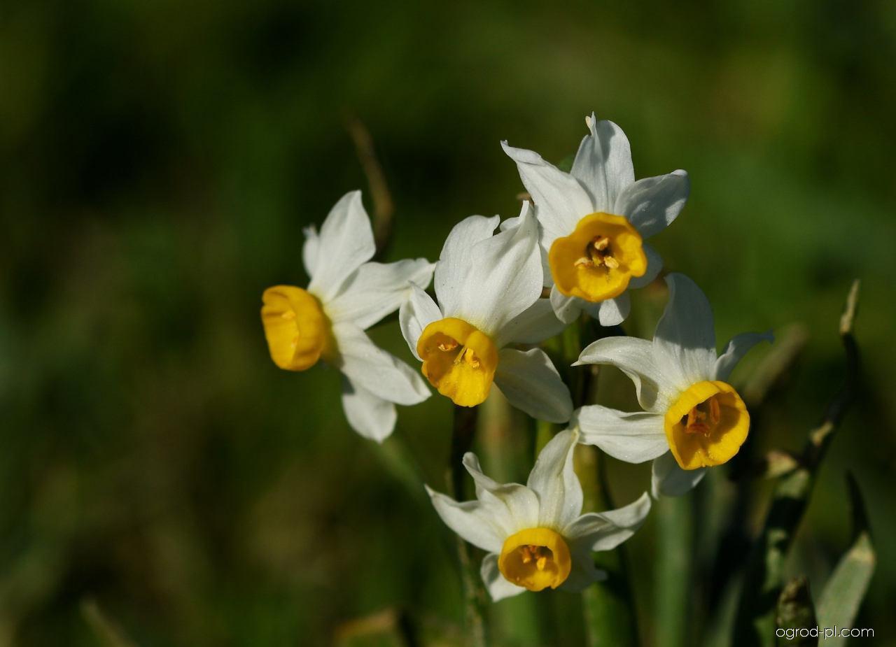 Narcis taceta - květy (Narcissus tazetta subsp tazetta)