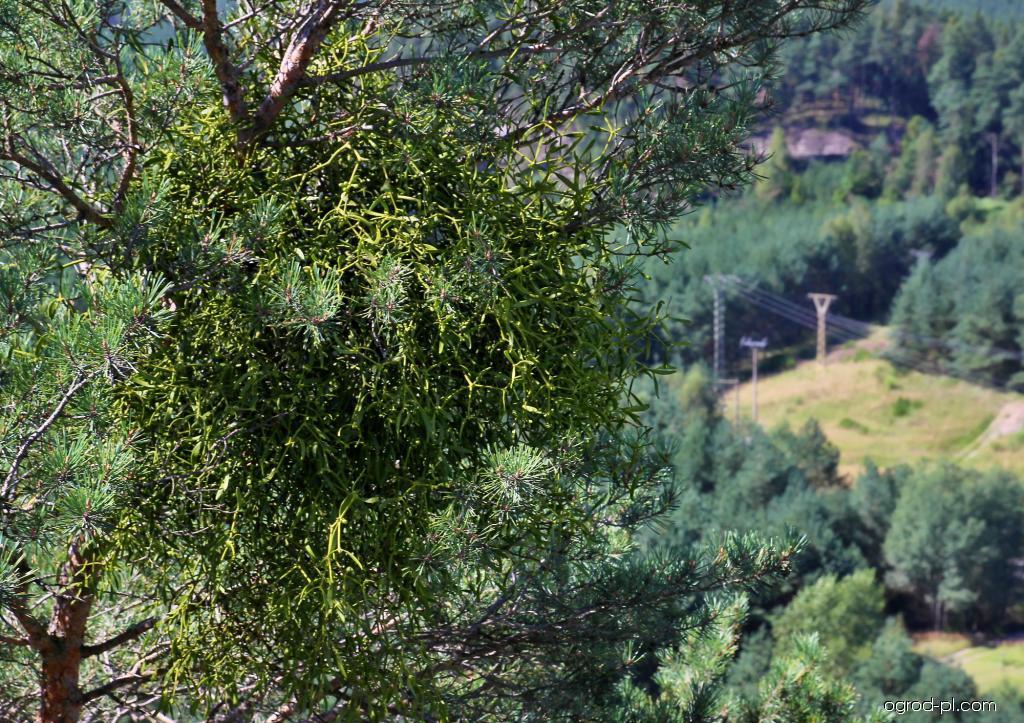 Jmelí bílé borovicové (Viscum album subsp austriacum)