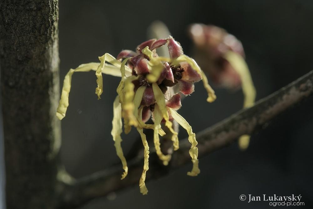 Vilín měkký (Hamamelis mollis)