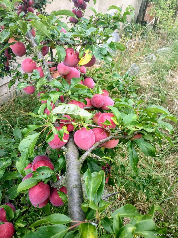 Slivoň bluma (Prunus domestica subsp italica)