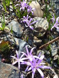 Colchicum bulbocodium   - bulbokodium wiosenne