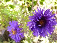 Symphyotrichum novae-angliae   'Bishop Colenso'  aster nowoangielski kwiaty