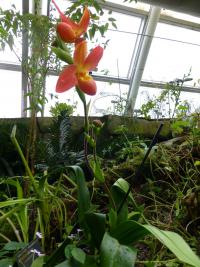 Phragmipedium (Phragmipedium don wimber)