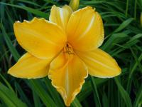 Denivka 'Slowik' (Hemerocallis)