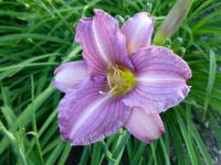 Denivka 'Little Fellow' (Hemerocallis)