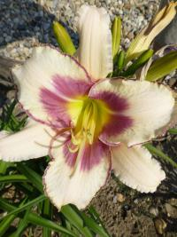 Denivka 'Chicago Picotee Memories' (Hemerocallis)