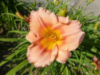 Denivka 'Siloam Little Girl' (Hemerocallis)