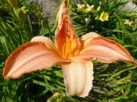 Denivka 'Treasure Shores' (Hemerocallis)