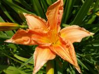 Denivka 'Peach' (Hemerocallis)
