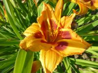 Denivka 'Cat' (Hemerocallis)