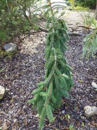 Smrk ztepily, previsly (Picea abies Rothenhaus)