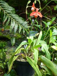 Phragmipedium (Phragmipedium besseae)