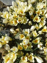 Crocus chrysanthus  'Cream Beauty' - szafran