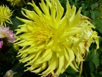 Dahlia 'Windhaven Highlight'  dalia kwiaty