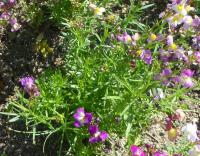 Lnice - list (Linaria bipartita)