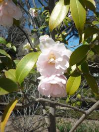 Kamélie (Camellia  williamsii Citation)