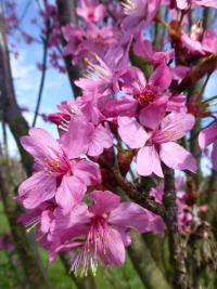Sakura ozdobná 'Captain Collingwood Ingram' - květ (Prunus serrulata)