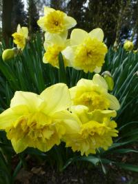 Narcissus  'Full House'  narcyz kwiaty