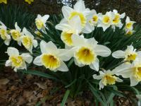 Narcissus  'Orange Ice Folies' - narcyz