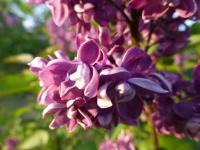 Šeřík obecný 'Arthur William Paul' - květ (Syringa vulgaris)