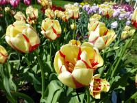Tulipa 'World Expression'  tulipan roślina