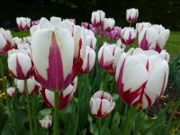 Tulipa       'World Expression'  tulipan kwiaty