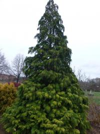 Chamaecyparis lawsoniana 'Golden Wonder'  cyprysik lawsona roślina