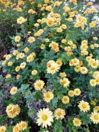 Chrysanthemum hybridum  'Goldgreenheart' - chryzantema