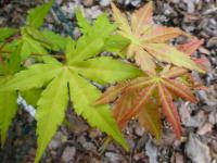 Acer palmatum     'Orange Dream'  klon palmowy liść