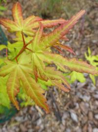 Javor dlanitolistý 'Orange Dream' (Acer palmatum)