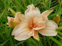 (Hemerocallis hybrida) Denivka 'Double Dream'
