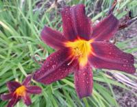 Denivka 'Congo Beauty' (Hemerocallis hybrida)