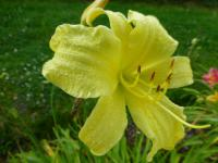 Denivka 'Missouri Beauty' (Hemerocallis hybrida)
