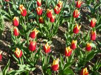 Tulipa 'Reputation'  tulipan roślina