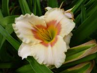 Denivka 'Siloam Ethel Smith' (Hemerocallis hybrida)