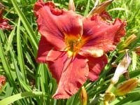 Hemerocallis   'Suddenly It's Autumn' - liliowiec ogrodowy