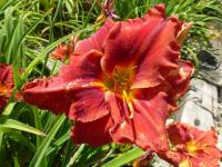 Denivka 'Suddenly It's Autumn' (Hemerocallis hybrida)