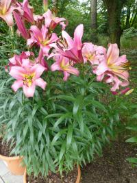 (Lilium x hybridum) Lilie 'Space Mountain'