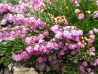 (Calluna vulgaris) Vřes obecný 'Red Favorit'