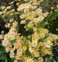Chrysanthemum hybridum  'Mary Stoker' - chryzantema