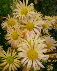 Chrysanthemum hybridum  'Mary Stoker'  chryzantema kwiaty