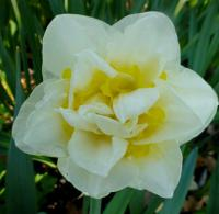 Narcissus     'Unique'  narcyz kwiaty