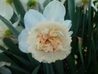 narcyz Narcissus  'Petit Four'
